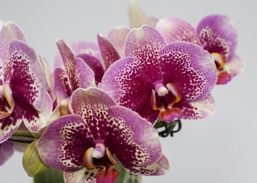 Фото лечебного цветка фаленопсис, выращенных в садовых условиях