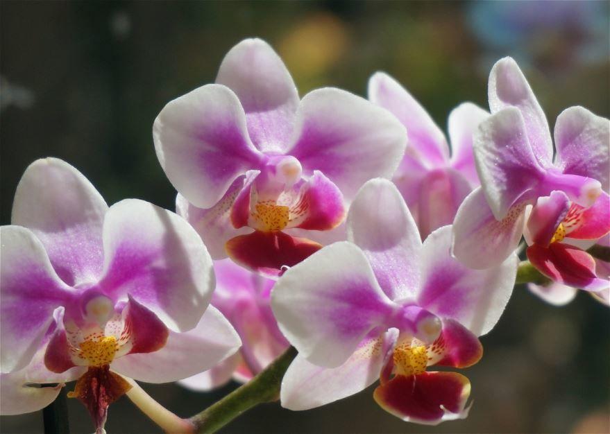 Бесплатные картинки и фото цветов фаленопсис, выращенных в домашних условиях