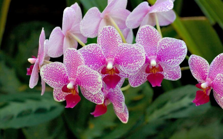 Картинки домашнего цветка фаленопсис в хорошем качестве