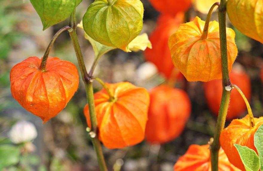 Фото и картинки полезного растения физалис, выращенного в открытом грунте