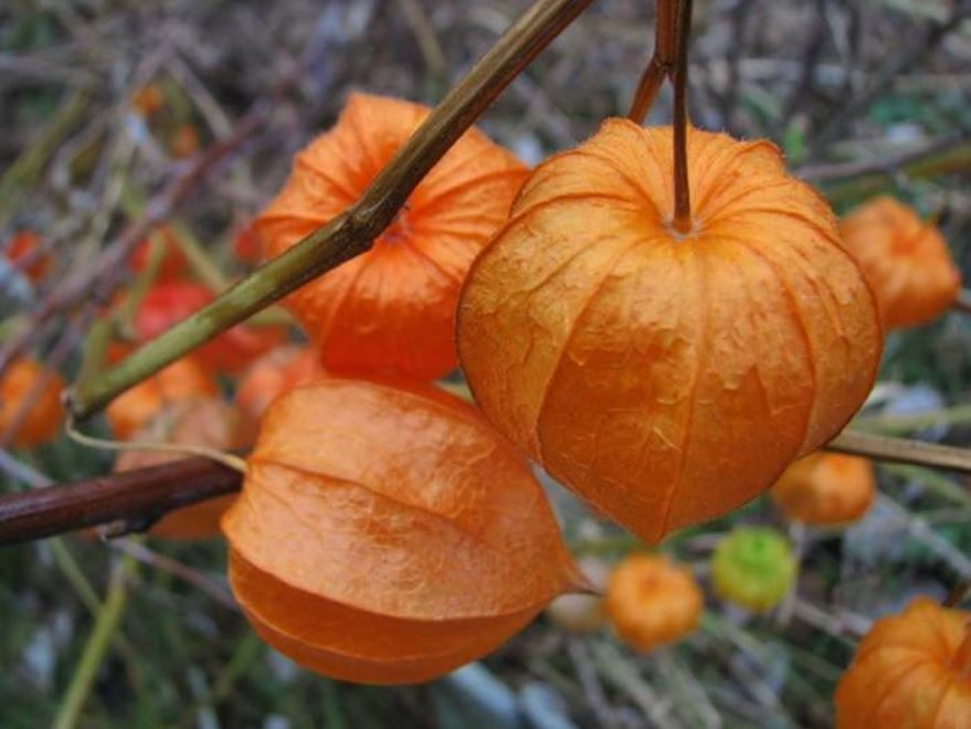 Бесплатные фото растения физалис, обладающего полезными свойствами