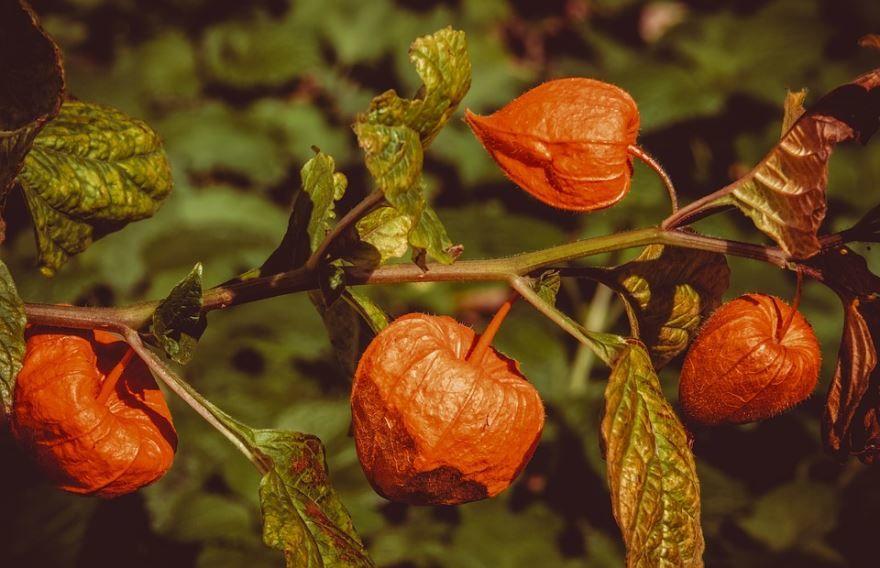 Купить фото съедобного растения – физалис? Скачайте бесплатно