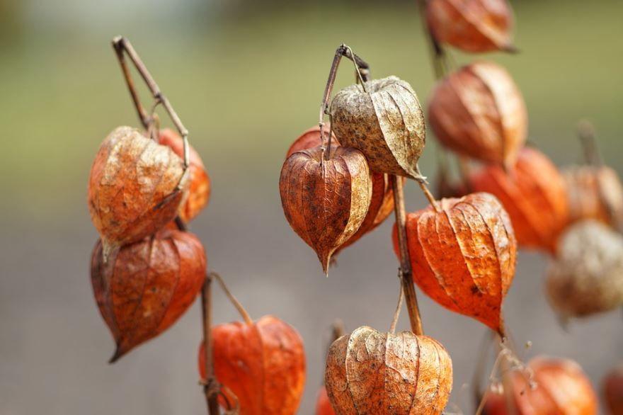 Фото обыкновенного растения физалис земляничный