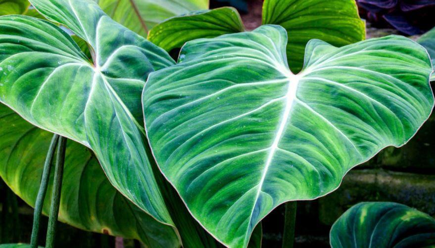 Смотреть фото домашнего растения – филодендрон бесплатно