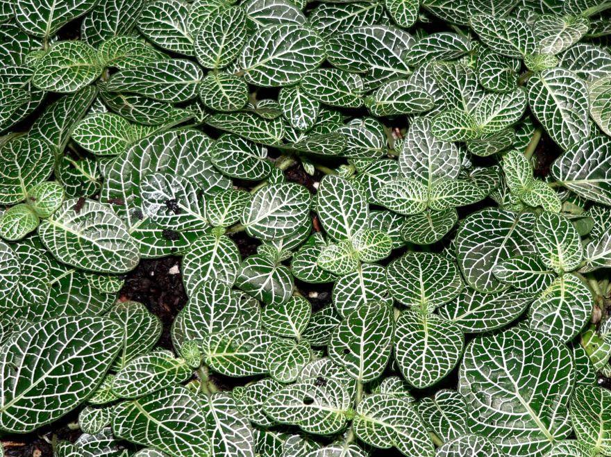 комнатное растение листья с белыми прожилками фото
