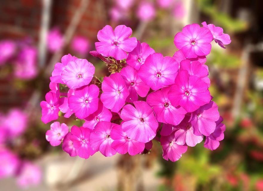 Фото и картинки многолетних цветов флокс друммонда