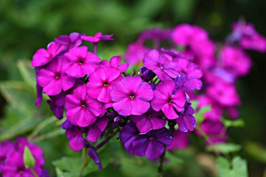 Смотреть фото осенних цветов флокс бесплатно