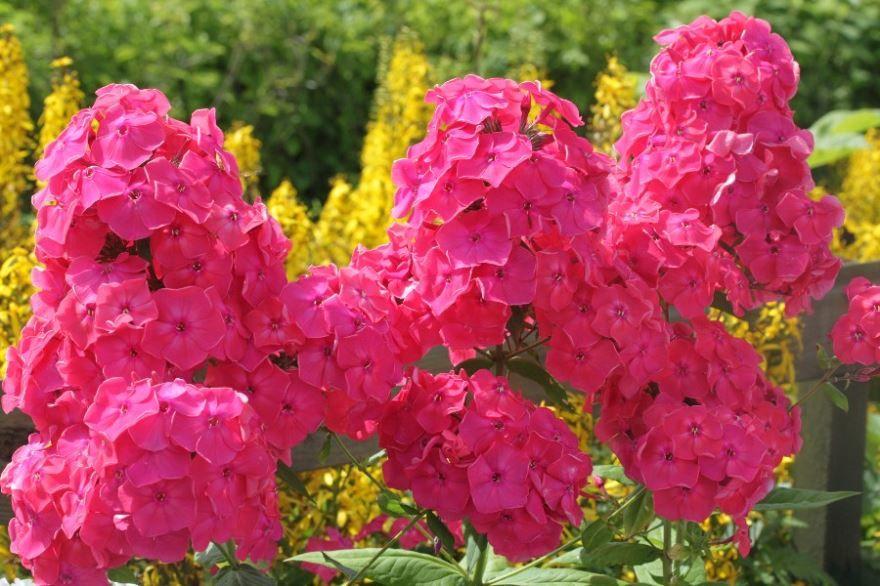 Фото цветка флокс  шиловидный бесплатно онлайн