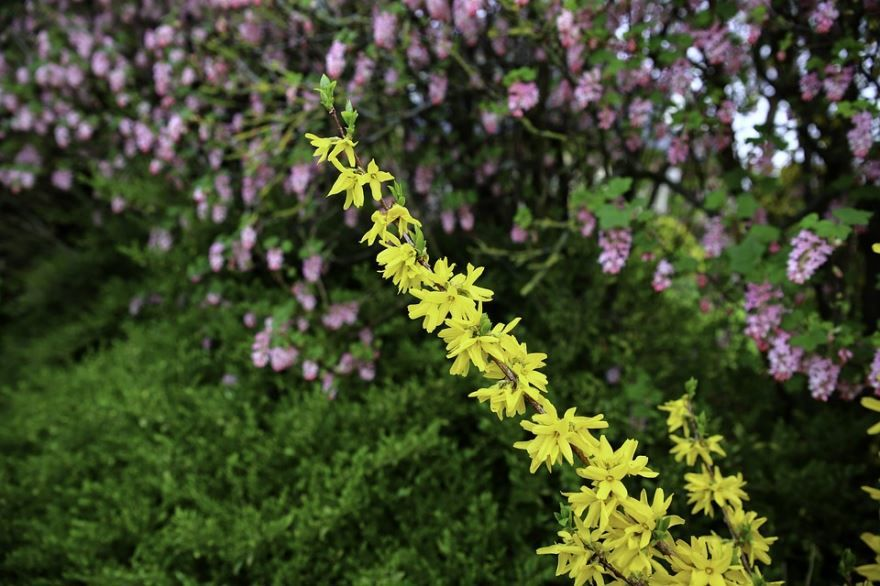 Фото цветущего кустарника форзиции линвуд онлайн
