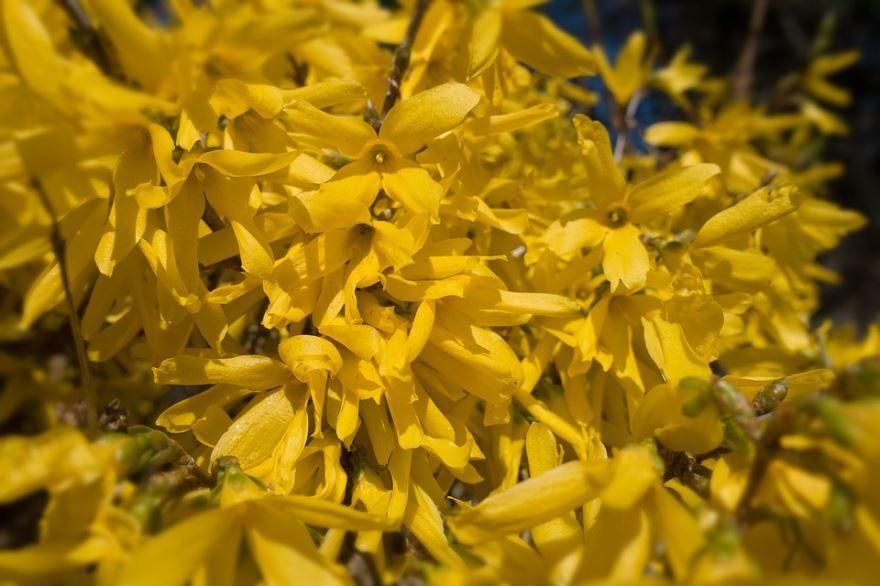 Смотреть фото растения форзиция в Подмосковье онлайн