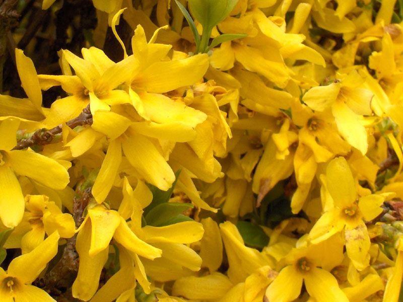 Картинки осеннего цветущего растения форзиция в Подмосковье