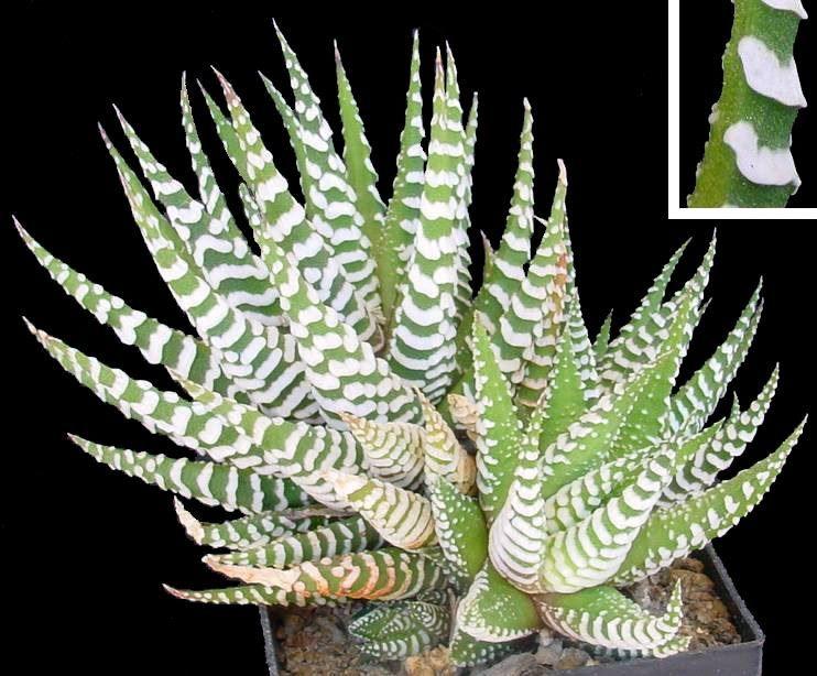 Смотреть фото растения хавортия полосатая бесплатно