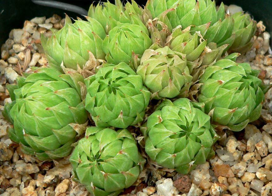 Фото пустырного растения хавортия, которая легко пережидает засуху