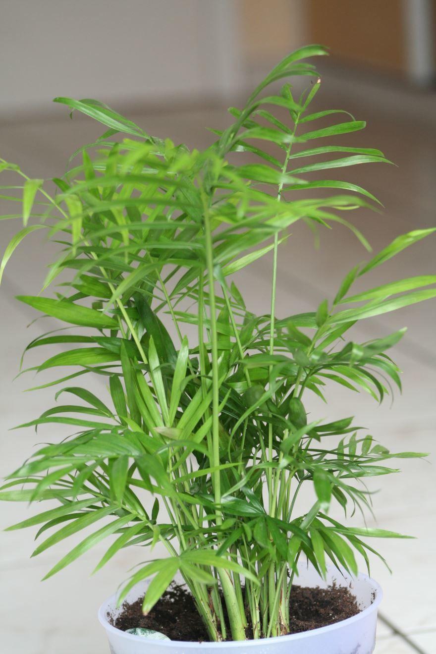 Смотреть фото растения хамедорея полосатая бесплатно