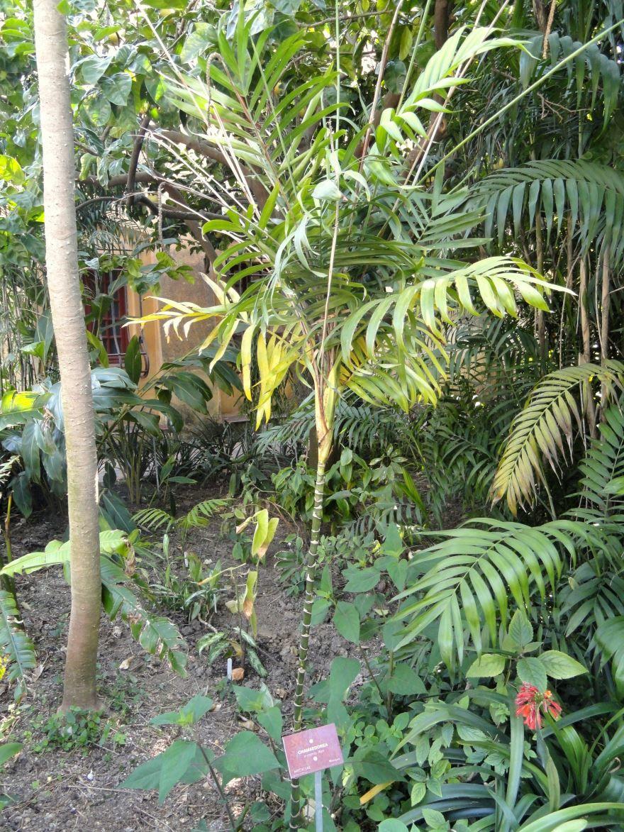 Бесплатные фото хамедореи бридбл с листьями онлайн