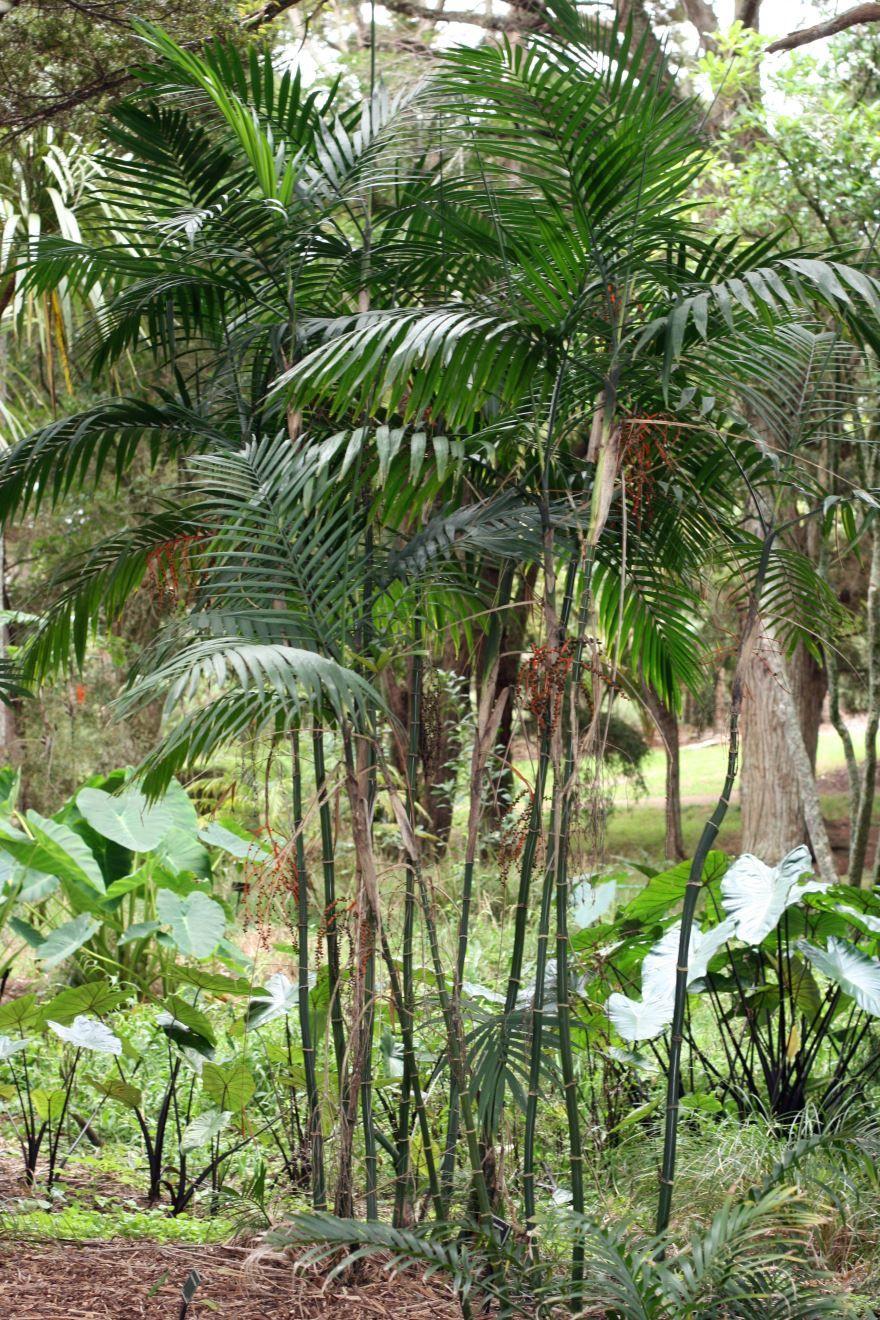 Фото домашнего растения хамедореи изящной