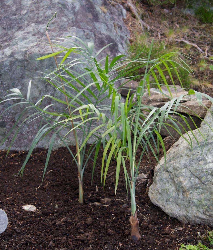 Смотреть фото цветов хамедореи разных видов с листьями