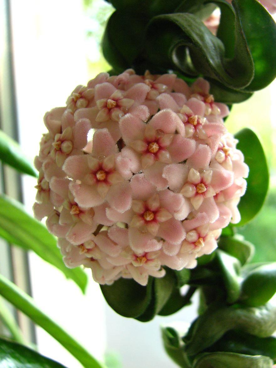 Фото растения хойя карноза бесплатно