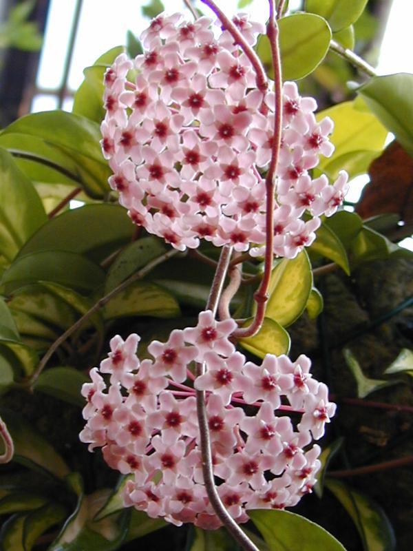 Скачать фото цветков растения хойя онлайн