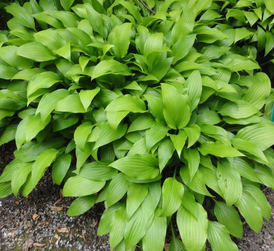 Купить фото растения хоста с нашего официального сайта? Скачайте бесплатно
