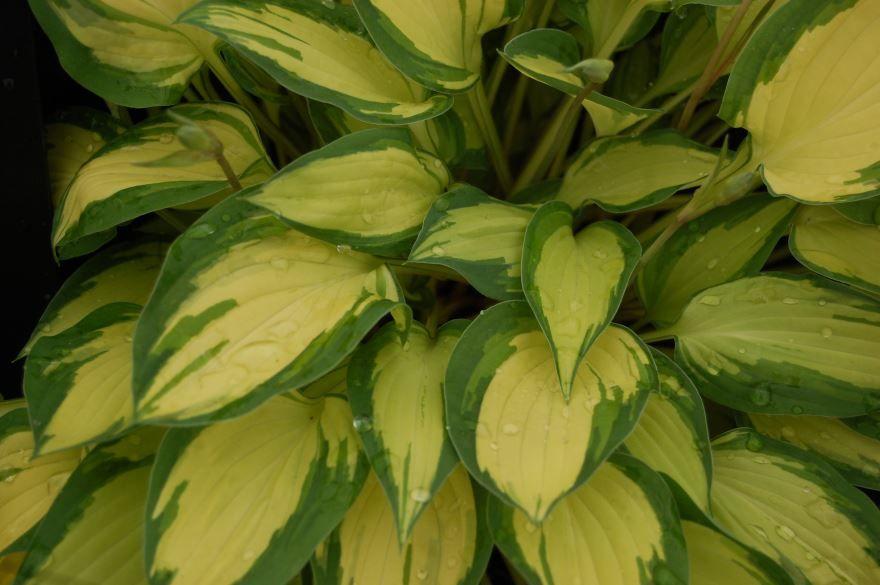 Смотреть фото растения хоста онлайн