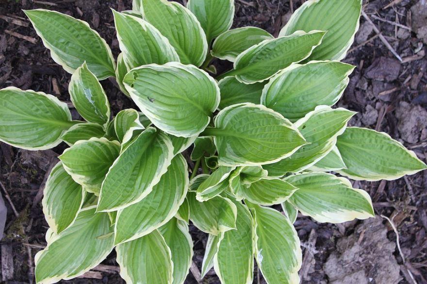 Скачать картинки растение хоста, которое садят на зиму