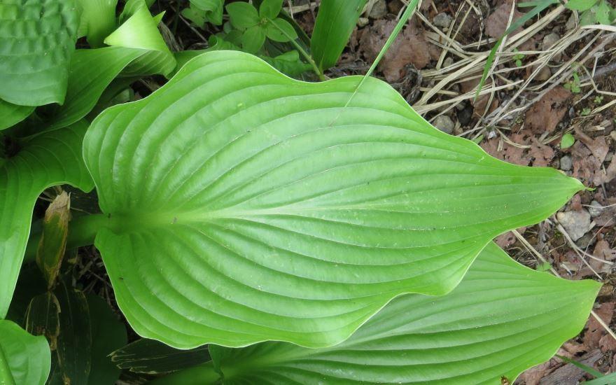 Смотреть бесплатные фото растения хоста онлайн