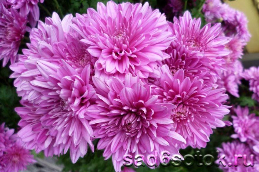 Смотреть фото садовой, шаровидной хризантемы онлайн