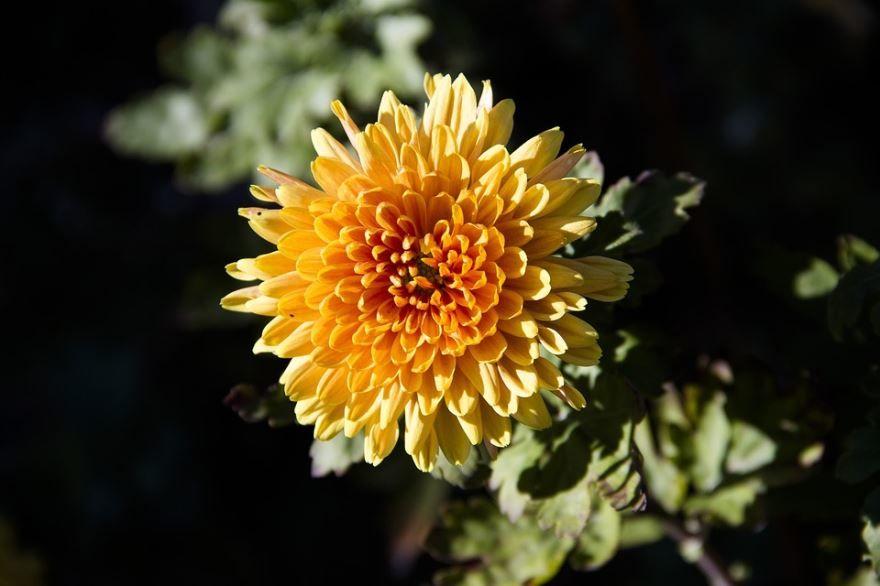 Купить фото домашних цветов хризантем? Скачайте бесплатно