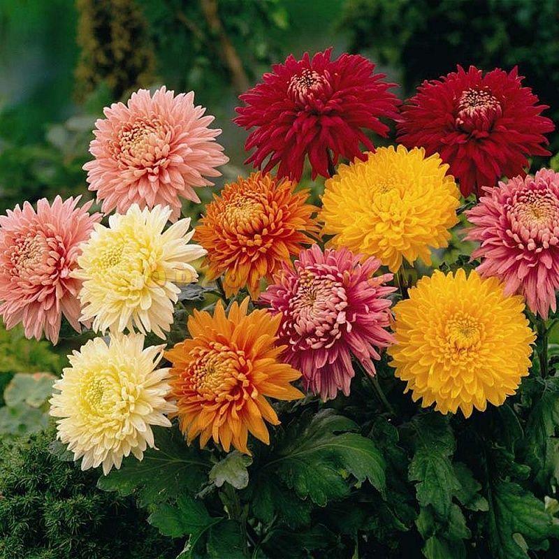 Смотреть фото цветов хризантемы, выращенной в домашних условиях