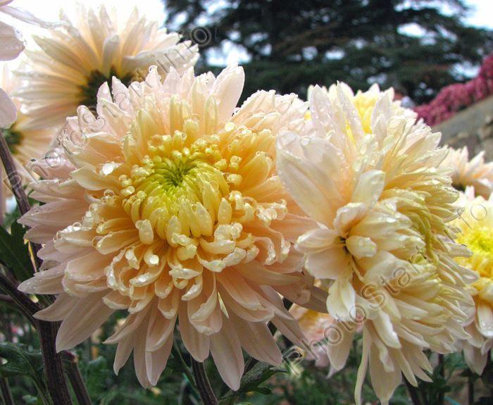 Скачать фото корейской хризантемы, выращенной в открытом грунте