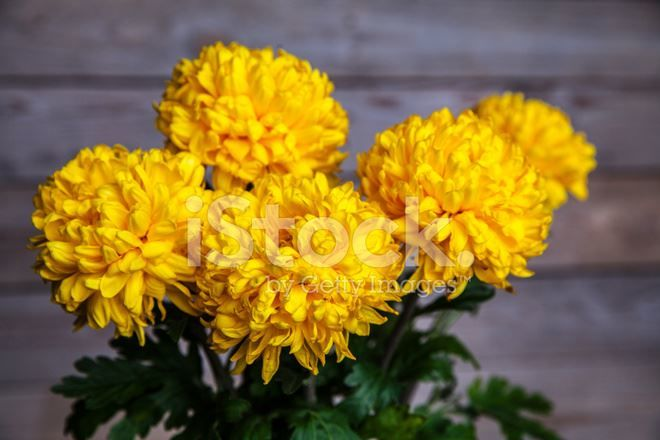 Фото многолетних, садовых цветов хризантем бесплатно