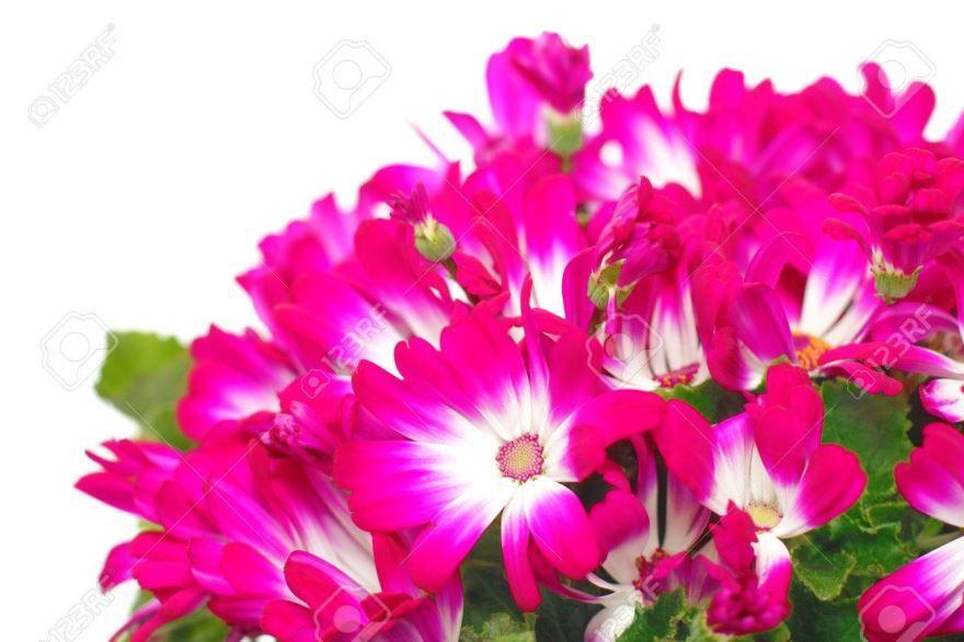 Смотреть фото многолетних цветов цинерария онлайн