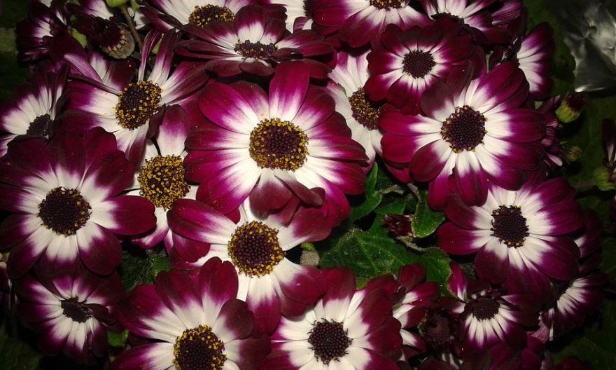 Фото и картинки комнатного цветка цинерарии приморской