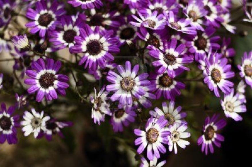 Смотреть фото однолетнего растения цинерарии в домашних условиях