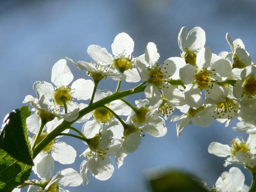 Смотреть фото цветущей черемухи онлайн