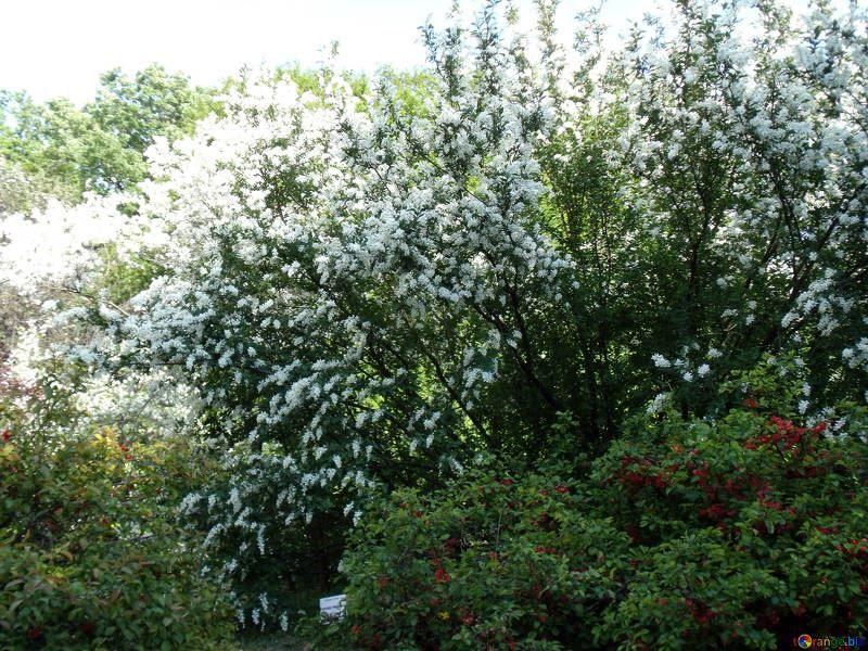 Онлайн фото дерева черемухи, выращенного весной