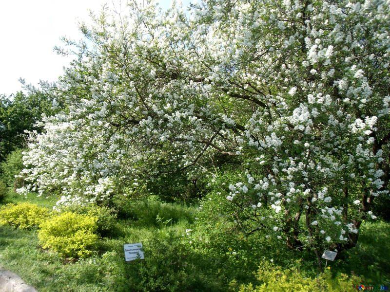 Бесплатные фото и картинки душистого растения – черемухи