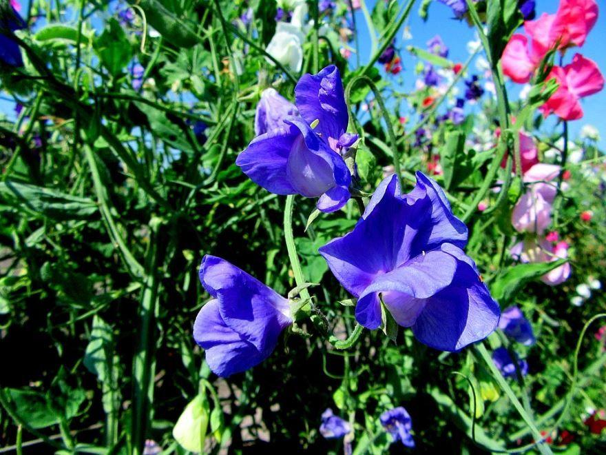 Фото и картинки садовой чины