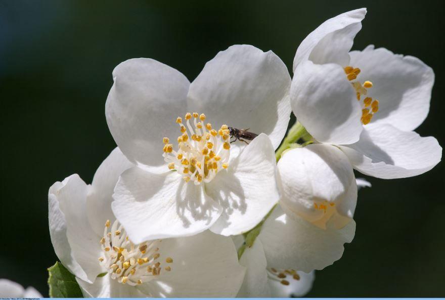 Купить фото растения чубушник? Скачайте бесплатно