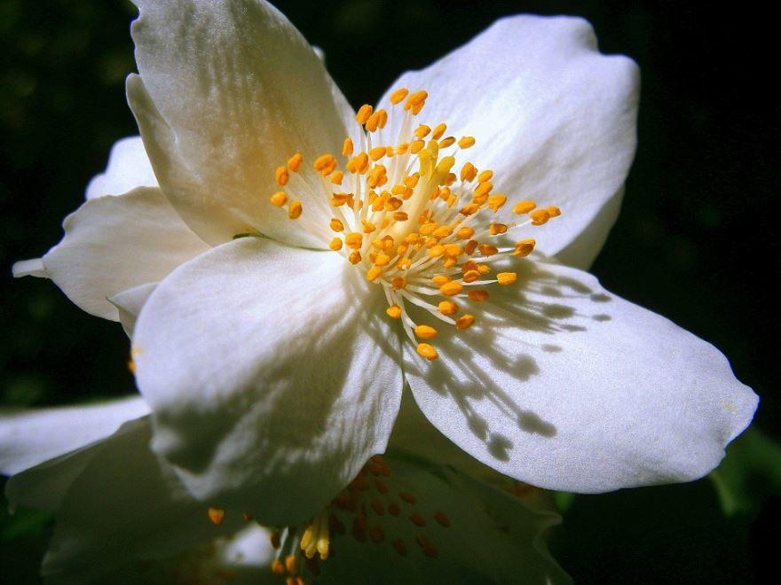 Смотреть фото растения чубушник махровый онлайн