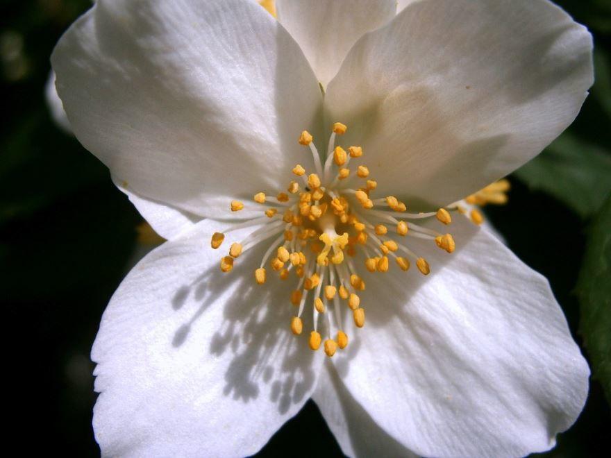 Смотреть фото кустарника чубушник садовый