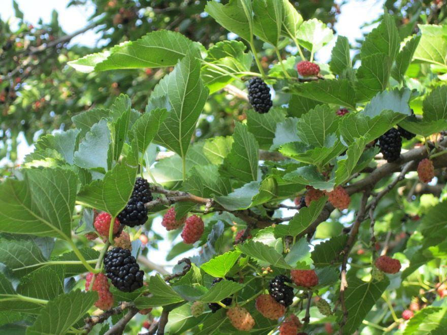 Смотреть картинки и фото ягод шелковицы плакучей онлайн