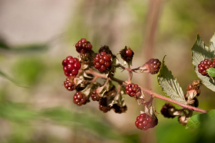 Скачать фото ягод шелковицы, для посадки на зиму в Подмосковье