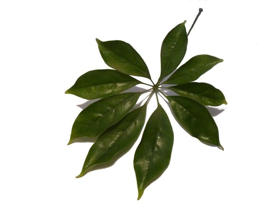 Смотреть фото домашнего растения шеффлера в хорошем качестве