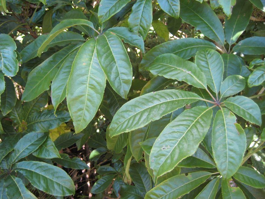 Бесплатные картинки и фото шеффлера герда с листьями