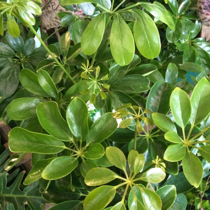 Скачать фото цветущего растения шеффлера онлайн