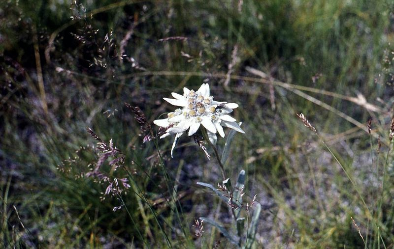 Смотреть фото многолетнего растения – эдельвейс