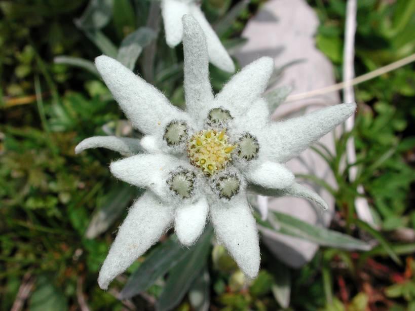 Скачать бесплатно фото цветка эдельвейса из Москвы