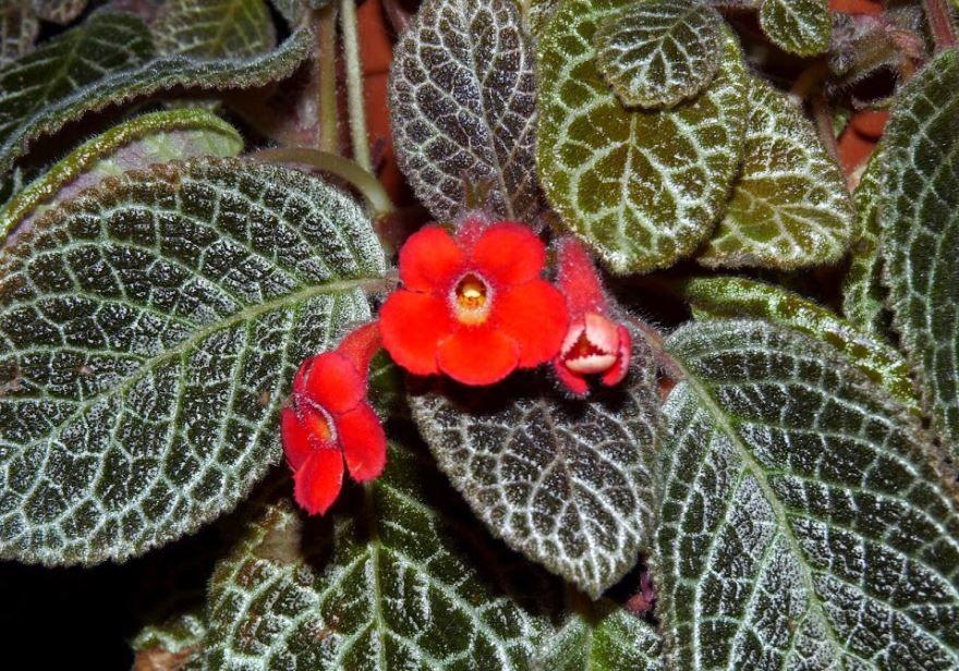 Фото и картинки растения эписции онлайн